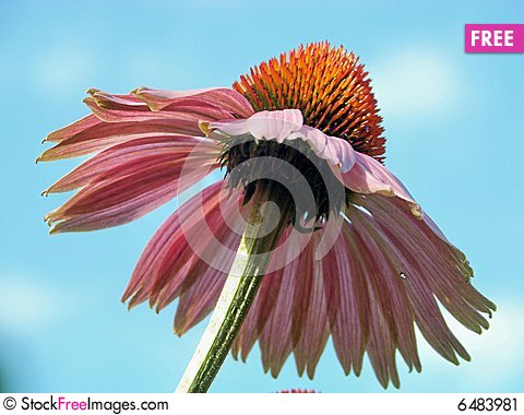 Free Cone Flower Stock Image - 6483981