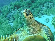 Free Head Of Green Turtle, Red Sea Stock Photos - 6480353