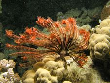 Big Feather Star Fish Royalty Free Stock Photos