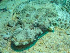 Free Head Of Crocodile Fish, Red Sea Stock Photography - 6480582