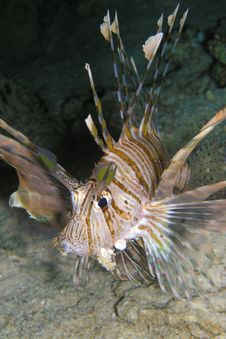 Free Lion Fish During Night Dive Royalty Free Stock Photography - 6481157