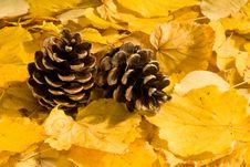 Free Autumn Pine Cones Stock Photography - 6481252
