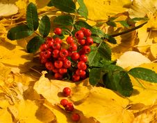 Free Bunch Of Ashberry Stock Images - 6481274