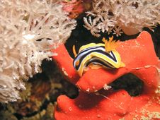 Free Sea Slug Eating Red Sponge Royalty Free Stock Images - 6481419
