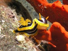 Free Sea Slug Eating Red Sponge Royalty Free Stock Images - 6481429