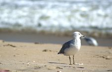 Free Seagull On The Beach Royalty Free Stock Image - 6481616