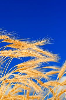 Free Golden Wheat Stock Images - 6481874