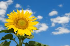 Free Amazing Sunflower Stock Photo - 6481930