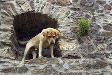 Free Labrador Retriever Royalty Free Stock Image - 6481946
