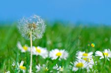 Free Dandelion In Daisy Flowers Stock Photography - 6482462
