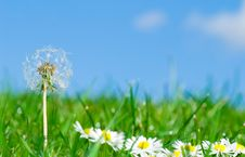 Free Dandelion In Daisy Flowers Stock Images - 6482464