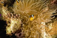 Free Red Sea Anemonefish (Amphipiron Bicinctus) Stock Image - 6482571