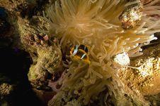 Free Red Sea Anemonefish (Amphipiron Bicinctus) Stock Photo - 6482580