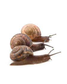 Free Garden Snail Royalty Free Stock Photography - 6482607