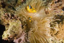Free Red Sea Anemonefish (Amphipiron Bicinctus) Stock Photography - 6482652