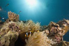 Free Red Sea Anemonefish (Amphipiron Bicinctus) Stock Photography - 6482692