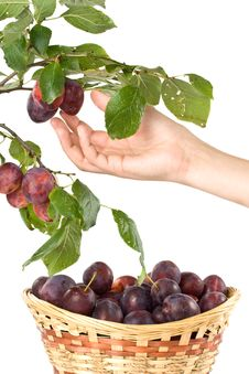 Free Fresh Appetizing Plums Royalty Free Stock Image - 6482706