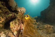 Free Red Sea Anemonefish (Amphipiron Bicinctus) Royalty Free Stock Images - 6482879