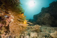 Free Red Sea Anemonefish (Amphipiron Bicinctus) Stock Image - 6482881
