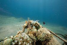Free Common Lionfish (pterois Miles) Stock Photos - 6482903