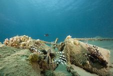 Free Common Lionfish (pterois Miles) Stock Image - 6482931