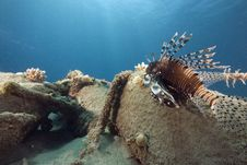 Free Common Lionfish (pterois Miles) Stock Photography - 6482942