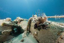 Free Common Lionfish (pterois Miles) Stock Photos - 6482953
