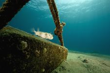 Free Yellowspotted Burrfish (cyclichthys Spilostylus) Royalty Free Stock Images - 6482969