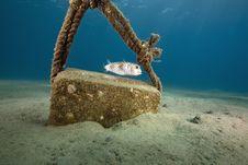 Free Yellowspotted Burrfish (cyclichthys Spilostylus) Stock Photos - 6483003