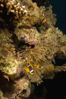 Free Red Sea Anemonefish (Amphipiron Bicinctus) Royalty Free Stock Photography - 6483297