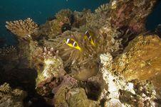 Free Red Sea Anemonefish (Amphipiron Bicinctus) Royalty Free Stock Photo - 6483305