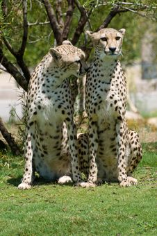 Free Two Cheetahs Royalty Free Stock Images - 6483459