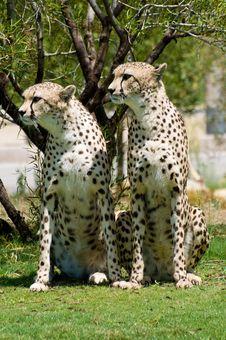 Free Two Cheetahs Stock Photos - 6483533