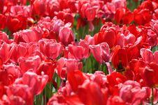 Free Tulips Stock Photography - 6483692