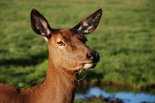 Free Deer Head Stock Photography - 6483932