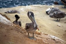 Free Brown Pelican Stock Photography - 6484312