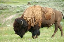 Free Yellowstone Wild Bison Royalty Free Stock Photo - 6484725