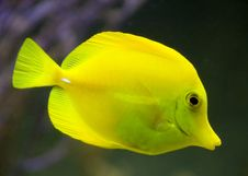 Yellow Tang 4 Royalty Free Stock Images