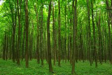 Free Forest Royalty Free Stock Photos - 6486718