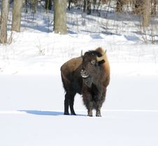 Free Great Bison. Stock Images - 6486954