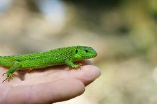 Free Lizard Stock Photo - 6487230