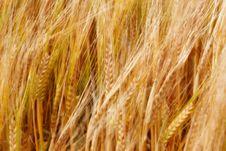 Free Golden Crop Stock Images - 6487374