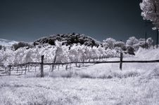 Free Infrared Vineyard Royalty Free Stock Photography - 6487617
