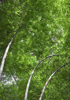 Free Bamboo Royalty Free Stock Photo - 6488435