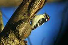 Free Downy Woodpecker Stock Photos - 6489023