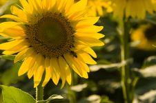 Free Sunflower.... Royalty Free Stock Photography - 6489057