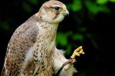 Free Saker Falcon Stock Photography - 6489182