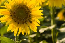 Free Sunflower...... Royalty Free Stock Images - 6489239