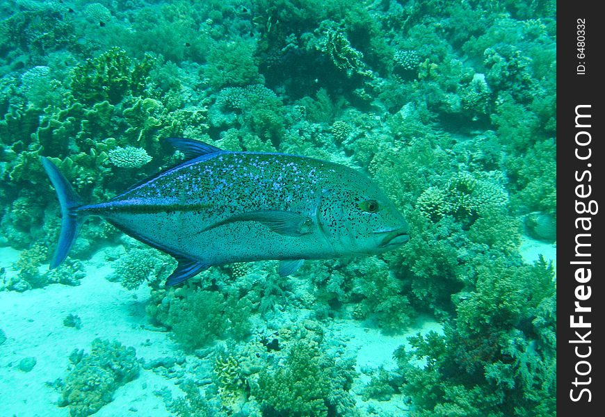 Blue fin Jack fish
