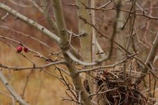 Free Nest In The Bush Of Hawthorn Stock Photography - 64816412